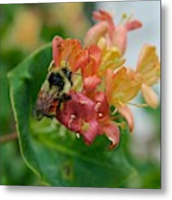 Bee On Wild Honeysuckle Metal Print by Ann E Robson