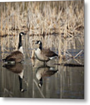 Canada Geese On The Marsh Metal Print by Jemmy Archer