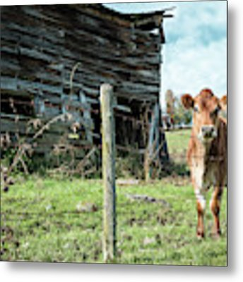 Cow By The Old Barn, Earlville Ny Metal Print by Gary Heller
