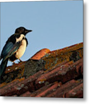 Eurasian Magpie Pica Pica On Tiled Roof Metal Print by Pablo Avanzini