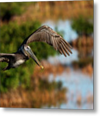 Flying Around Looking For Fish To Eat Metal Print by Dan Friend
