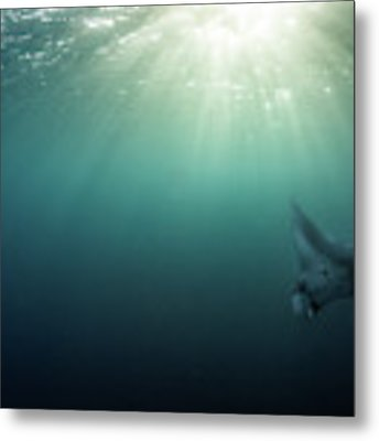Giant Manta Ray Metal Print by Nicole Young