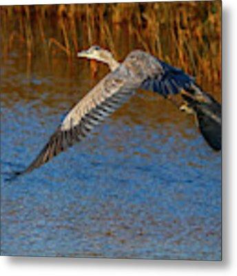 Great Blue Fly Away Metal Print by Tom Claud