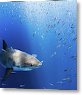 Great White Shark Metal Print by Nicole Young