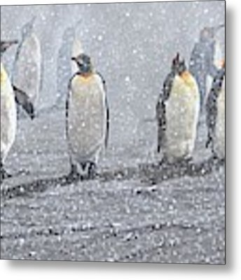 Group Of King Penguins In The Snow Metal Print by Alan M Hunt