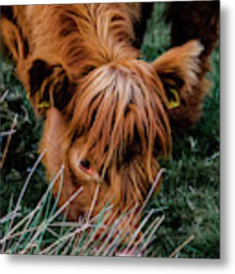 Highland Cow Eating Close Up Metal Print by Scott Lyons
