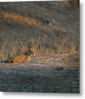 Lc12 Metal Print by Joshua Able's Wildlife