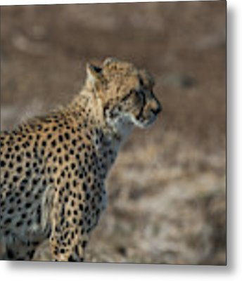 LC5 Metal Print by Joshua Able's Wildlife