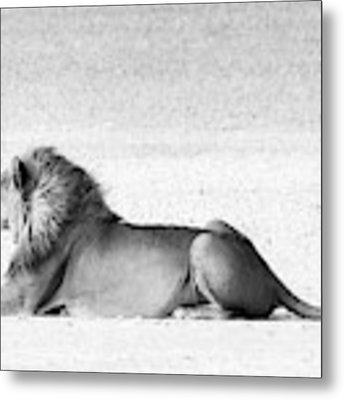 Lion In Wait Metal Print by Rand