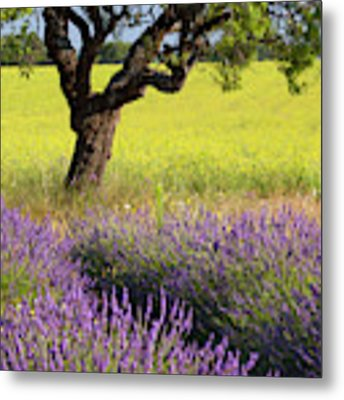 Lone Tree In Lavender And Mustard Fields Metal Print by Brian Jannsen