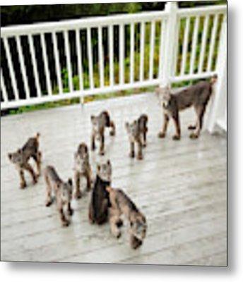 Lynx Family Portrait Metal Print by Tim Newton