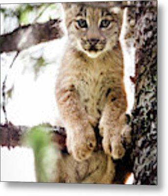 Lynx Kitten In Tree Metal Print by Tim Newton