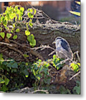 Night Heron At The Palace Revisited Metal Print by Kate Brown