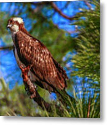 Osprey On Limb Metal Print by Tom Claud