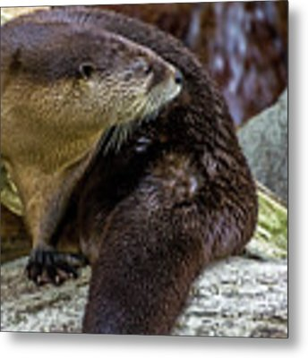Otter Interrupted Metal Print by Kate Brown