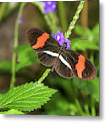 Postman Butterfly 1 Metal Print by Dawn Richards