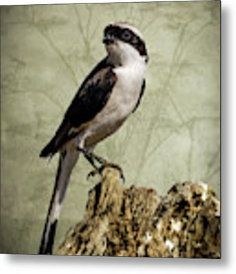 Shrike Of The Serengeti Metal Print by Mary Lee Dereske