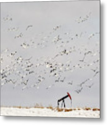 Snow Geese Over Oil Pump 01 Metal Print by Rob Graham