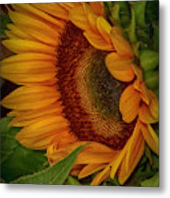 Sunflower Beauty Metal Print by Judy Hall-Folde