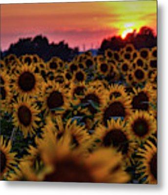 Sunflower Sunset 001 Metal Print by Lance Vaughn