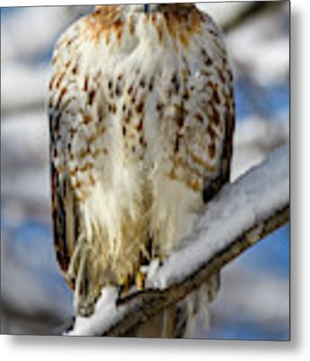 The Look, Red Tailed Hawk 1 Metal Print by Michael Hubley