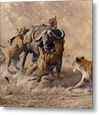 The Take Down - Lions Attacking Cape Buffalo Metal Print by Alan M Hunt
