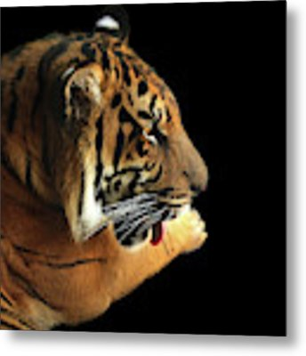 Tiger On Black Metal Print by Alison Frank