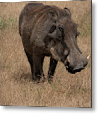 Warm And Fuzzy Warthog Metal Print by Mary Lee Dereske