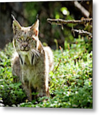 Watchful Mama Lynx Metal Print by Tim Newton