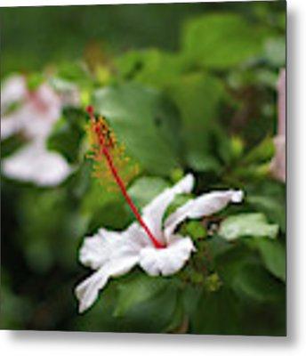 White Hibiscus Flower Metal Print by Pablo Avanzini
