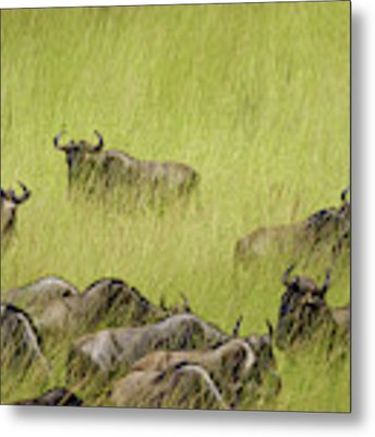 Wildebeest In Tall Grass Metal Print by Mary Lee Dereske