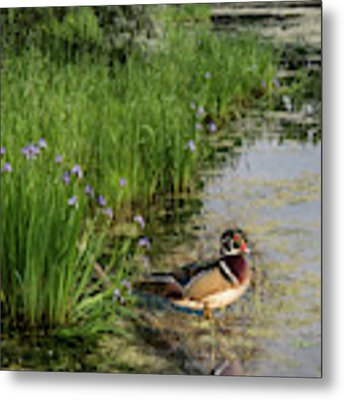 Wood Duck And Iris Metal Print by Patti Deters
