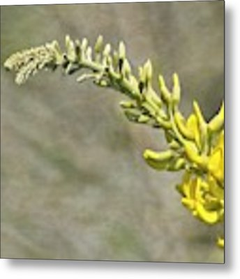 Yellow Lupine Metal Print by Carolyn Marshall