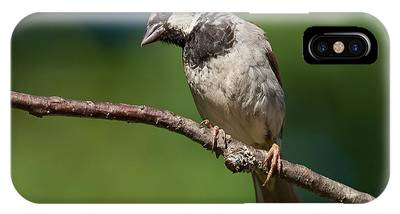 Male House Sparrow Perched In A Tree IPhone Case