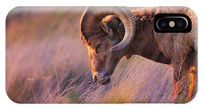 Rocky Mountain Bighorn Sheep iPhone Cases