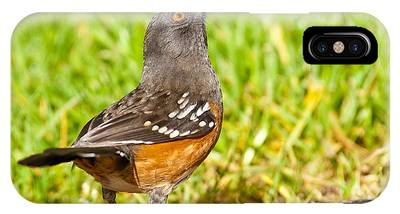 Spotted Towhee Looking Up IPhone Case