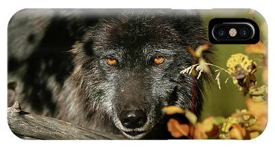 IPhone Case featuring the photograph Black Wolf by Ronnie and Frances Howard