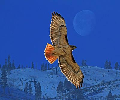 Hawk Posters