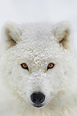 Arctic Wolf Pics Posters
