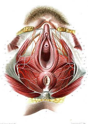 Urethra Posters