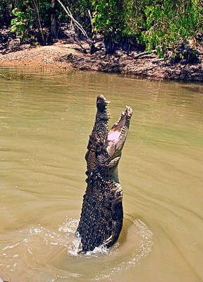 Crocodylus Porosus Posters