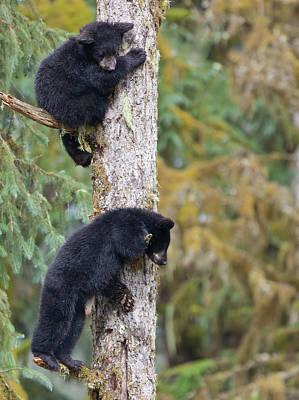 Black Bear Climbing Tree Posters