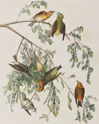 Crossbill Posters