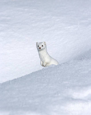 Ermine In Winter Posters