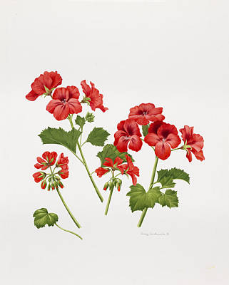 Red Geraniums Drawings Posters