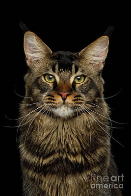 Main Coon Posters