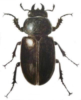Beetle Drawings Posters