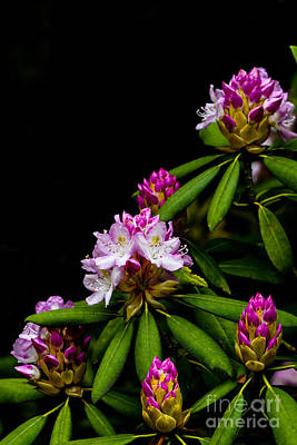 Rhododendron Maximum Posters