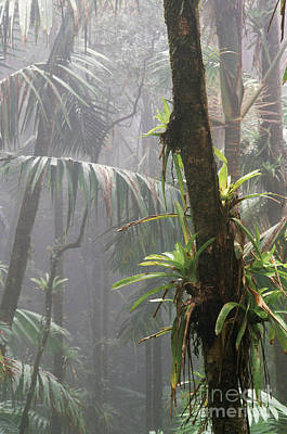 Epiphytic Bromeliads Posters