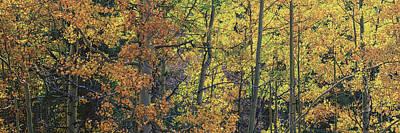 Colorful Colorado Turning Aspens Mountain Landscape Scene Posters
